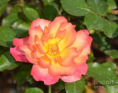 Photograph - Rose Blossom 17-01 by Maria Urso