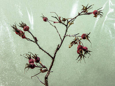 Photograph - Rose Hips by Stan Kwong