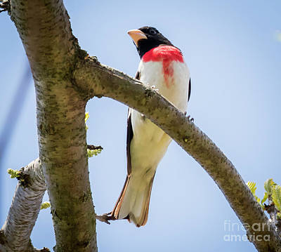 Photograph - Rose-breasted Grosbeak Looking At You by Ricky L Jones