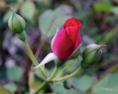 Photograph - Rose Bud #4059 by Barbara Tristan