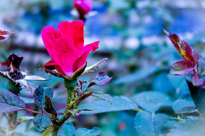 Photograph - Rose Bud In A Garden by Marisela Mungia