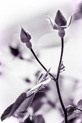 Photograph - Rose Buds by Chris Bordeleau