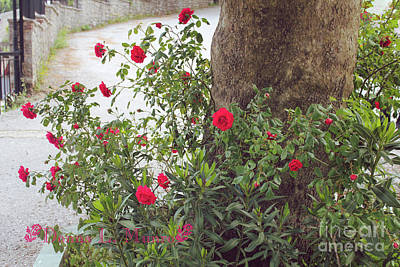 Photograph - Rose Bush Greece by Donna L Munro