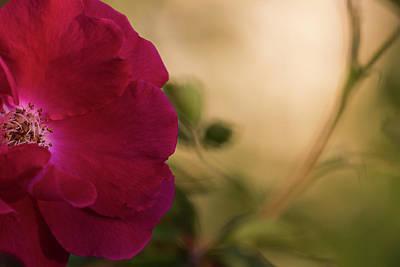 Photograph - Rose Bush by Robert Potts
