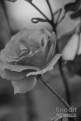 Photograph - Rose Bw by Tannis Baldwin