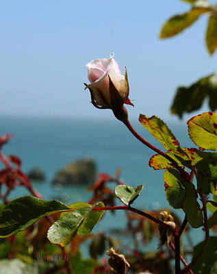 Photograph - Rose By The Sea by Susan Vineyard