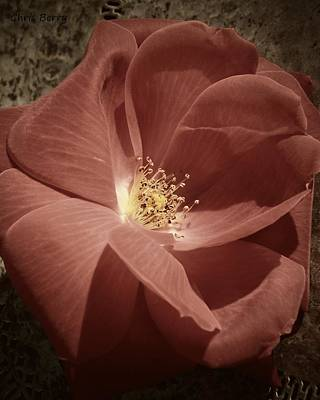 Photograph - Rose by Chris Berry