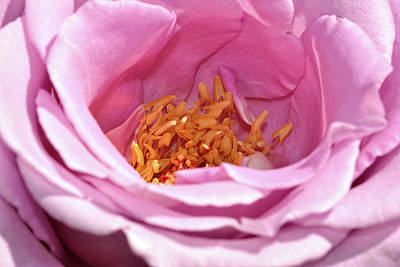 Photograph - Rose Close-up 5 by Isam Awad