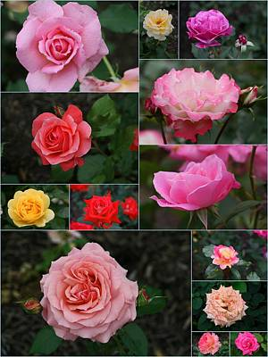 Photograph - Rose Collage 4 by Allen Beatty