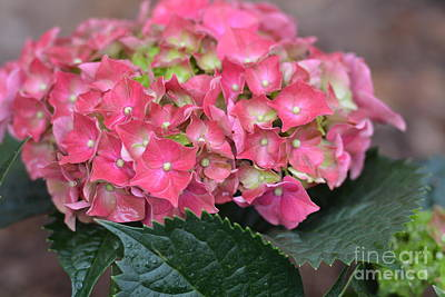 Photograph - Rose-colored Hydrangea by Maria Urso
