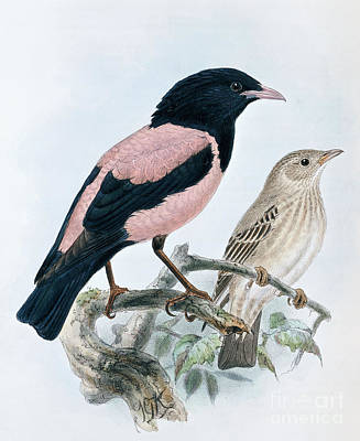Starlings Painting - Rose Colored Starling by Johan Gerard Keulemans