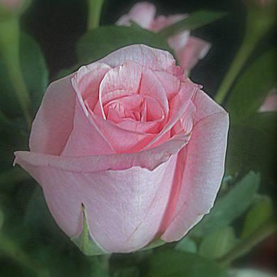 Photograph - Rose Dreams by Suzy Piatt