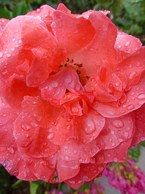 Photograph - Rose Drops by Claudia Goodell