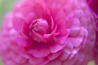 Macro Art Photograph - Rose Flower by M Valeriano