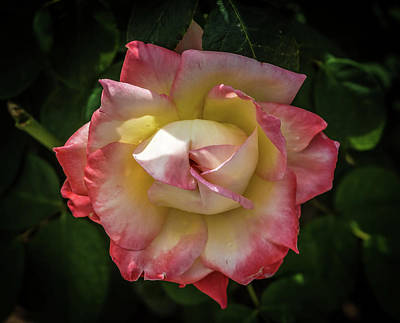 Photograph - Rose From Mable Ringling's Garden by Richard Goldman