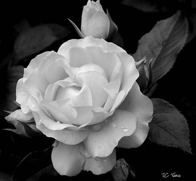 Photograph - Rose From The Garden by James C Thomas