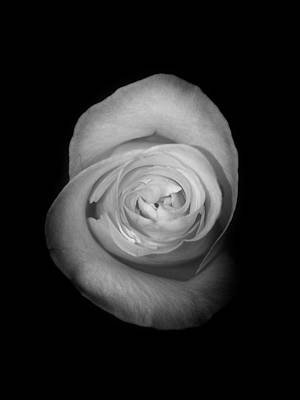 Photograph - Rose From The Shadows by Nathan Little