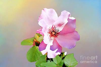 Photograph - First Pink Rose From Tulsa Rose Garden by Janette Boyd