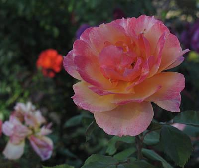 Photograph - Rose Garden Beauty  by Ruth Jolly
