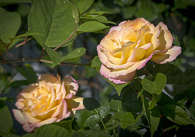 Photograph - Rose Glow by Loree Johnson