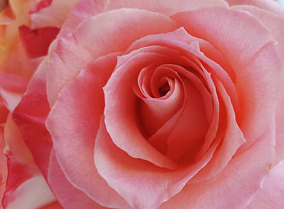 Photograph - Rose by Guillermo Rodriguez