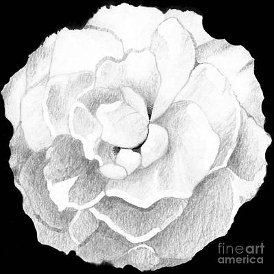 Drawing - Rose by Helena Tiainen