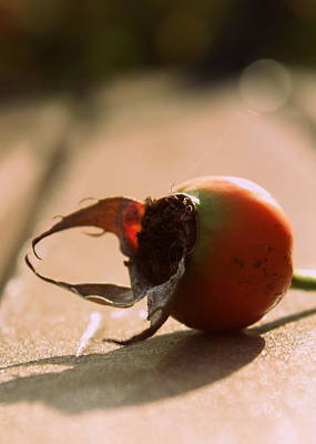 Photograph - Rose Hip by Joseph Skompski