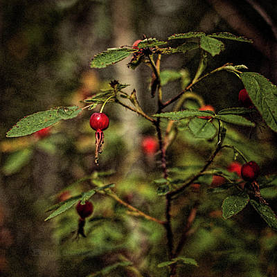 Photograph - Rose Hips 2016 by Fred Denner