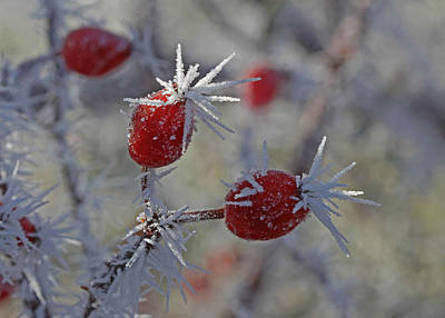 Frost Photograph - Rose Hips by Gary Wing