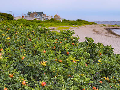 Photograph - Rose Hips On Summer Beach by Marianne Campolongo