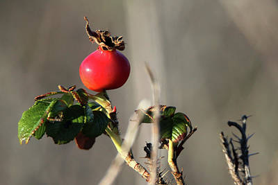 Photograph - Rose Hips Port Jefferson New York by Bob Savage