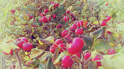 Photograph - Rose Hips-vintage by Mike Breau