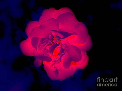 Photograph - Rose Illumination - 2 by Greg Moores