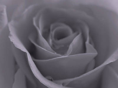 Photograph - Rose In Black And White  by Juergen Roth