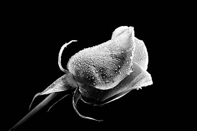Photograph - Rose In Black In White Highlighted by Lilia D