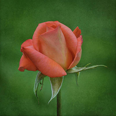 Photograph - Rose In Bloom by Nikolyn McDonald