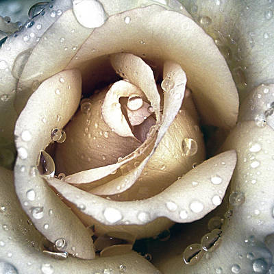 Photograph - Rose In Gold With Water Drops by Julie Palencia