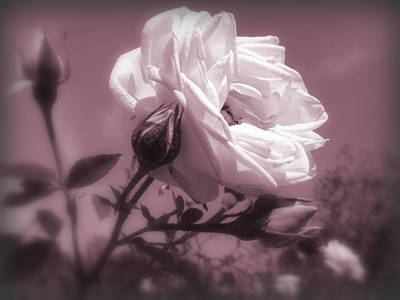Rose In Rose Art Print