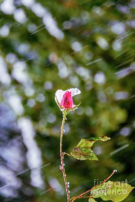 Rain Photograph - Rose In Snow by Viktor Birkus