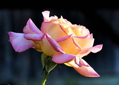 Rose In Sunshine Art Print