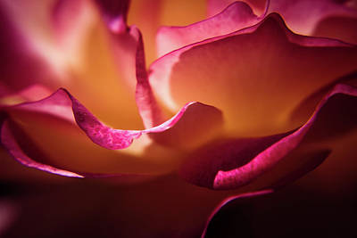 Photograph - Rose In The Afternoon by Jeanette Fellows