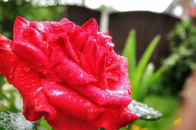 Photograph - Rose In The Rain by Yoursbyshores Isabella Shores