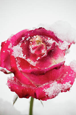 Photograph - Rose In The Snow by Lauren Lang