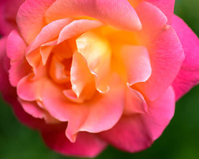 Photograph - Rose Is Rose by Ronda Broatch