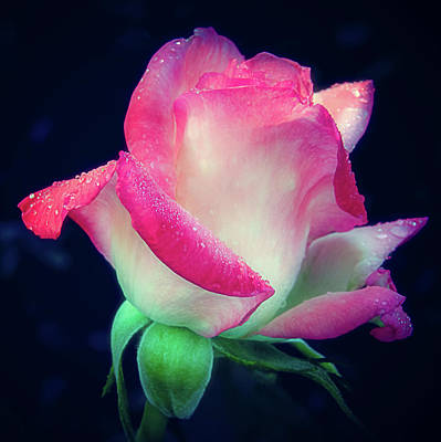 Photograph - Rose Jacnepal Gemini by Julie Palencia
