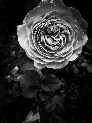 Photograph - Rose by Jessie Henry
