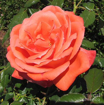 Photograph - Rose by Julia Stubbe