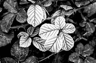 Photograph - Rose Leaves by Fabrizio Troiani