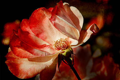 Photograph - Rose by Lisa Knechtel