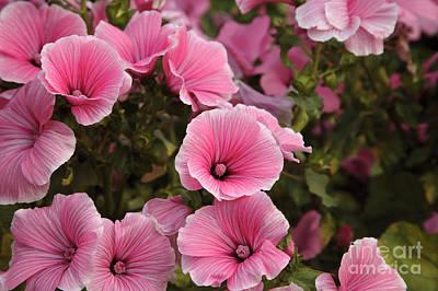 Rose Mallow Flowers Art Print